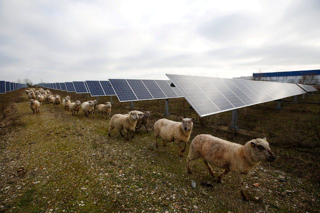 Sheep are herded at a photovoltaic power plant in Allonnes near Le Mans, France January 8, 2018. (Photo by Stephane Mahe/Reuters)