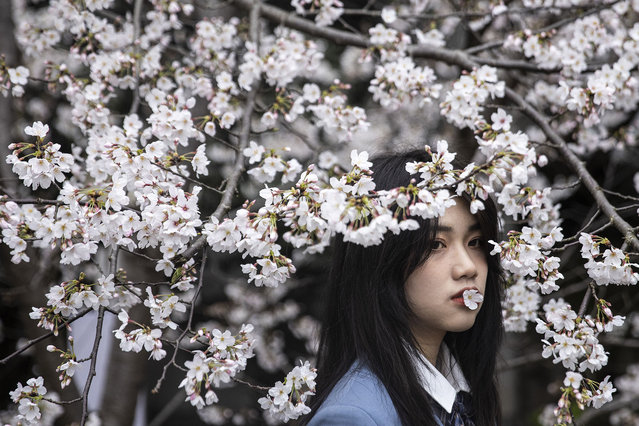 A girl holds a blossom in her mouth while posing for photos under cherry blossom trees at Wuhan University on March 11, 2021 in Wuhan, China. Tourists come to view cherry blossoms at the university during the spring. Wuhan University, first founded in 1893, is widely known as one of the most beautiful universities in China. Last year Wuhan University did not receive guests due to the pandemic lockdown. Currently the limit is 10,000 tourists a day. With no recorded cases of community transmission since May 2020, life for residents is gradually returning to normal. (Photo by Getty Images/China Stringer Network)