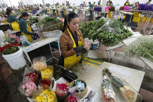 A Colombian flower grower organizes bouquets ahead of Valentine's Day in Subachoque, January 29, 2015. (Photo by John Vizcaino/Reuters)