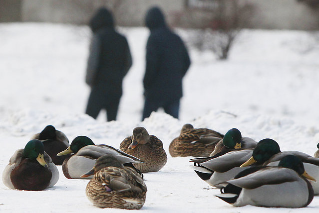 Ducks huddle in a park in Warsaw, Poland, Wednesday January 20, 2016, as snow and a deep freeze have settled over Central Europe. Temperatures fell to minus 6 Celsius (21 Fahrenheit) in Warsaw on Wednesday. (Photo by Czarek Sokolowski/AP Photo)