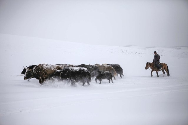 A man herds his yaks in the snow in Tsenkher Sum, Arhanga, Mangolia. Picture taken October 21, 2013. (Photo by Mareike Guensche/Reuters)