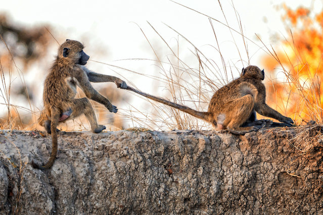 Going toe-to-toe, these fighting primates could give Floyd Mayweather a run for his money. The amazing images – captured by Australian tourist Julie Rathbone on the banks of the Zambezi river in Africa – show the pair engaging in a few fisticuffs. The Chacma baboons appeared to settle a disagreement by fighting - before a senior baboon plays referee and steps in to break it up. Nurse unit manager Julie Rathbone, 59, from New South Wales, was on a cruise down the river when she spotted the fracas unfolding. (Photo by Julie Rathbone/Caters News)
