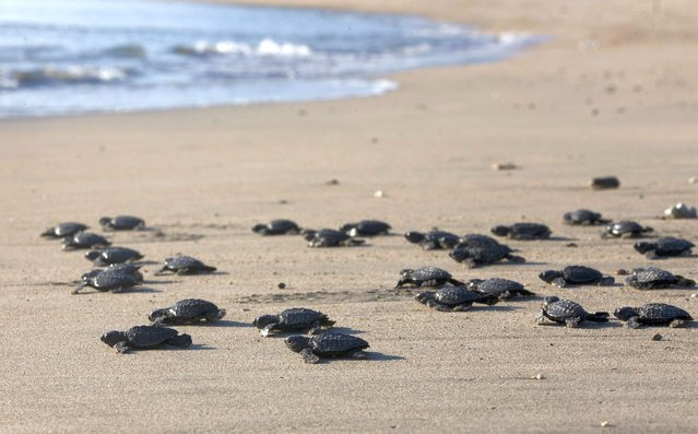 Baby turtles are released into the ocean in Bali, Indonesia on Tuesday, July 6, 2021. Dozens of newly hatched Lekang turtles were released during a campaign to save the endangered sea turtles. (Photo by Firdia Lisnawati/AP Photo)