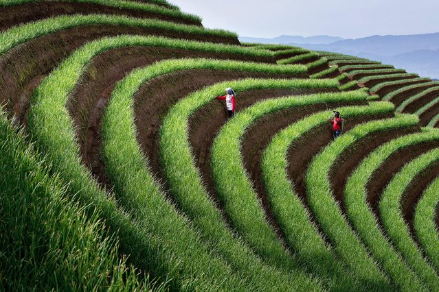 Workers tend green onion plants among nearly 1,000 acres of terracing in fields in the Majalengka Regency of West Java in Indonesia in July 2021. (Photo by Andika Oky Arisandi/Solent News)