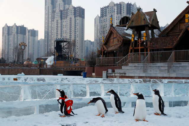 A gentoo penguin is seen during a promotional event during an annual ice festival in the northern city of Harbin, Heilongjiang province, China January 6, 2019. (Photo by Tyrone Siu/Reuters)