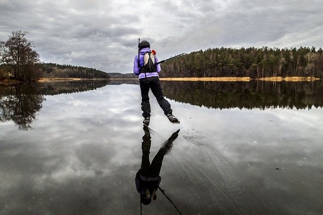 A long skater speeds away on the rain-wet ice on lake Orlangen, South of Stockholm on December 15, 2013. Meteorologists forecast temperatures around 5 degrees for southern Sweden. (Photo by Tobias Rostlund/AFP Photo)