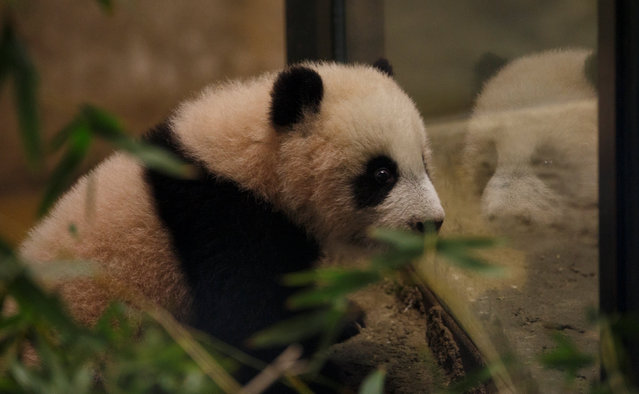 Baby panda Chulina, born last August, is reflected in a glass inside her indoor enclosure during her public presentation at the zoo in Madrid, Spain January 12, 2017. (Photo by Sergio Perez/Reuters)