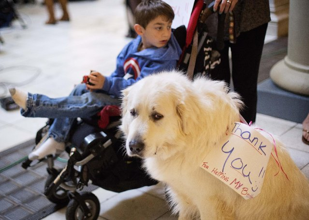 "Denali, a Great Pyrenees, wears a sign reading ""Thank you for helping my brother"", as he sits next to Hudson Scheck, background, of Ball Ground, Ga., after Georgia Gov. Nathan Deal signed a medical marijuana bill into law at the Statehouse, Thursday, April 16, 2015, in Atlanta. Denali and Hudson have been together since Hudson was born and helps to detect his seizures. (Photo by David Goldman/AP Photo)"