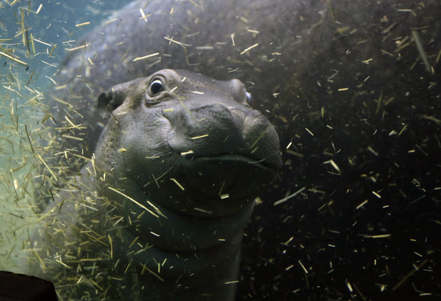 A newborn baby hippo swims with its mother Maruska in  their enclosure at the zoo in Prague, Czech Republic, February 24, 2016. (Photo by Petr David Josek/AP Photo)