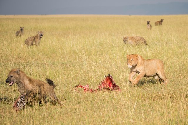 Lion fends off hyena trying to steal zebra kill, in Masai Mara, Kenya, August 2015. (Photo by Ingo Gerlach/Barcroft Images)