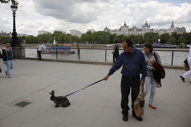A couple take their pet rabbit for a walk on the South Bank of the River Thames in London, England July 21, 2012. (Photo by Chris Helgren/Reuters)