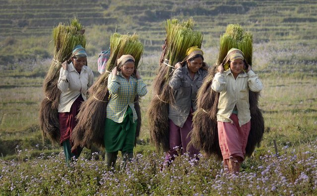 Picture made available on 29 February 2016 shows Tiwa tribal women carrying harvested Broom sticks (Thysanolaena maxima) for drying in Karbi Anglong district of Assam state, India on 28 February 2016. Broom grass has emerged as the most widely cultivated crop in the hills of Karbi Anglong district of Assam state and The harvesting season for broom grass starts from first week of February and it continues till the end of March. (Photo by EPA/Stringer)