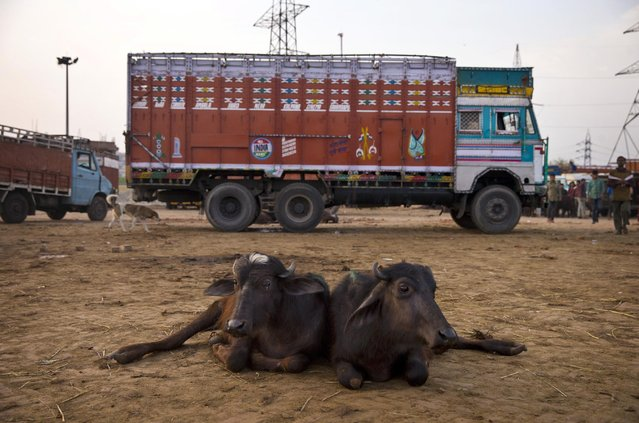 In this April 2, 2015 photo, buffalo calves lie in front of a truck used to transport them at Ghazipur slaughterhouse complex in New Delhi, India. India is the world's second-largest exporter of beef, but with the victory of Prime Minister Narendra Modi's Hindu nationalist Bharatiya Janata Party last year, the industry is facing tougher bans on slaughter. (Photo by Saurabh Das/AP Photo)