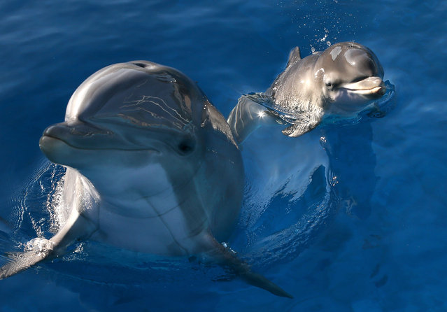 Bella, a Bottlenose Dolphin, swims in a pool with her new calf named Mirabella at Six Flags Discovery Kingdom on January 17, 2014 in Vallejo, California. (Photo by Justin Sullivan/Getty Images)