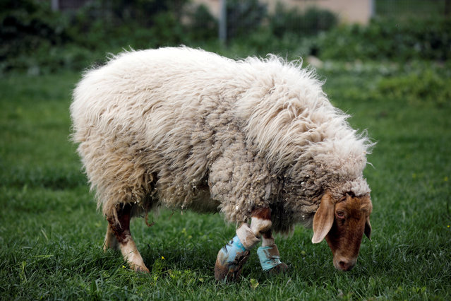 "A sheep with leg braces, named Gary, grazes at ""Freedom Farm"", a refuge for mostly disabled animals in Moshav Olesh, Israel on March 7, 2019. (Photo by Nir Elias/Reuters)"