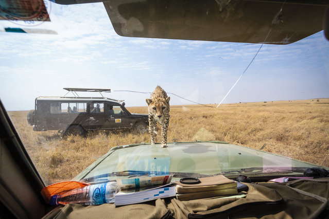 The cheetah approaches the windscreen. (Photo by Bobby-Jo Clow/Caters News)