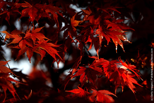 Leaves display their autumn colours in Westonbirt Arboretum in the Cotswolds near Tetbury on October