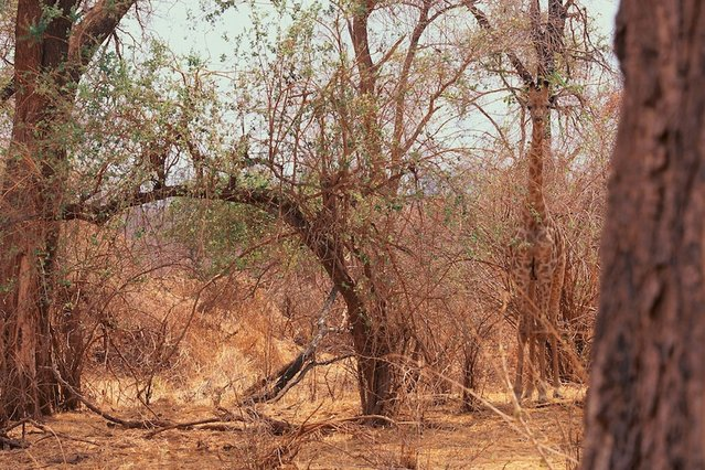 Tall story: Can you spot the giraffe? (Photo by Caters News)