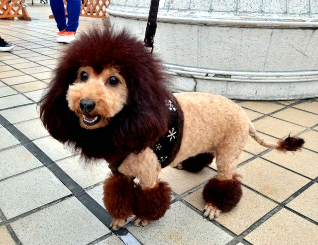 A dog, trimmed to look like a lion, walks on the rooftop of the Mitsukoshi department store in Tokyo on April 5, 2014. One hundred lion looking dogs gathered to celebrate the 100th anniversary of Mitsukoshi department store's mascot lion. (Photo by Yoshikazu Tsuno/AFP Photo)