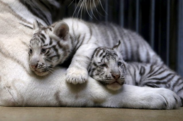 Newly born Indian white tiger cubs rest in their enclosure at Liberec Zoo, Czech Republic, April 25, 2016. (Photo by David W. Cerny/Reuters)