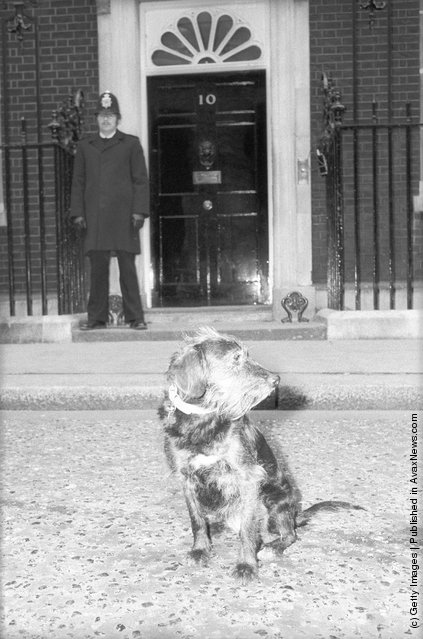 1980: Tessa the dog outside the prime minister's residence at 10 Downing St protesting against the proposal to increase the cost of her licence
