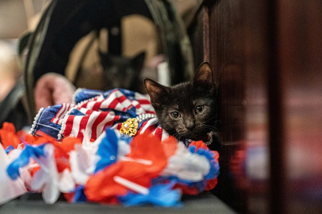 Figaro wears a dress inspired by an American flag at backstage before the Algonquin Hotel's Annual Cat Fashion Show in the Manhattan borough of New York City, New York, U.S., August 1, 2019. (Photo by Jeenah Moon/Reuters)