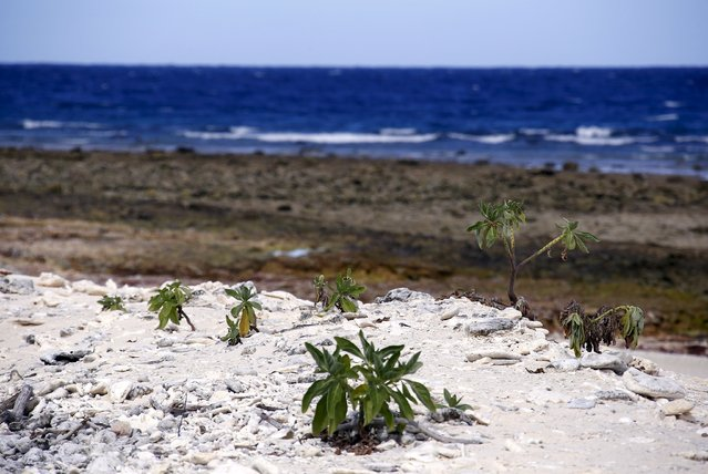 Small bushes grow on a coral beach on Lady Elliot Island located north-east of the town of Bundaberg in Queensland, Australia, June 9, 2015. (Photo by David Gray/Reuters)