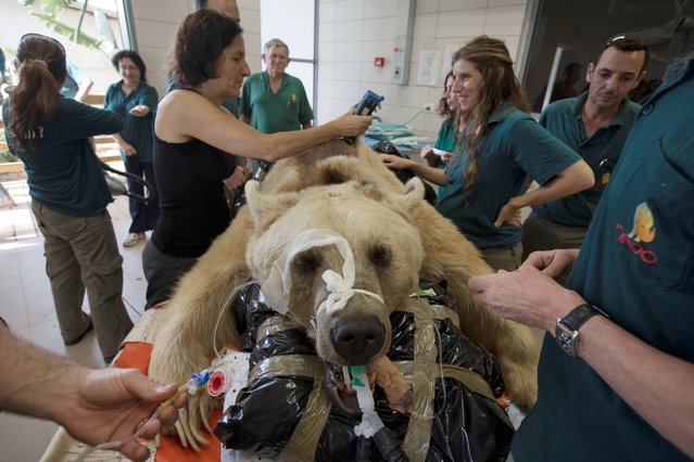 Mango, a 19-year-old male Syrian brown bear, rests on a bed as zoo veterinarians and staff prepare him for surgery in the Ramat Gan Zoological Center's animal hospital near Tel Aviv, Israel, Wednesday, May 7, 2014. The 250 kilogram (550 pound) Syrian brown bear is going into surgery to repair a herniated disc in his back after it was discovered in an x-ray, said Sagit Horowitz, the zoological center spokeswoman. (Photo by Ariel Schalit/AP Photo)
