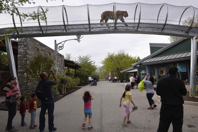 An Amur tiger walks over the new Big Cat Crossing as visitors look on at the Philadelphia Zoo in Philadelphia, Pennsylvania May 7, 2014. The new animal exploration trail experience called Zoo360 of see-through mesh trails enables animals to roam around and above Zoo grounds. (Photo by Charles Mostoller/Reuters)