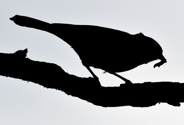 A great tit silhouettes against the sky as it carries a caterpillar in its beak on May 8, 2014 in Petersdorf, eastern Germany. (Photo by Patrick Pleul/AFP Photo/DPA)