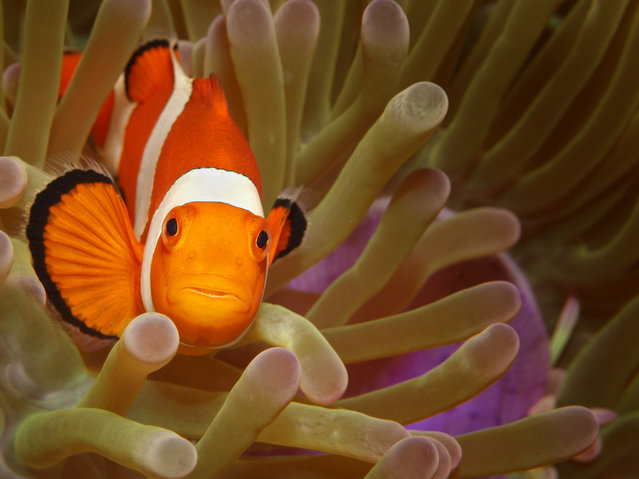 """Look in my eyes......"" Clownfish or anemonefish are fishes from the subfamily Amphiprioninae in the family Pomacentridae. Thirty species are recognized, one in the genus Premnas, while the remaining are in the genus Amphiprion. Photo location: Philippines, Cabilao island. (Photo and caption by Peter Bublitz/National Geographic Photo Contest)"