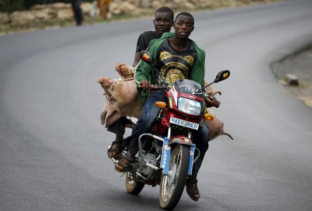 A Burundian man transports a passenger and two pigs to markets in the capital Bujumbura July 19, 2015,  as the country awaits next week's presidential elections. (Photo by Mike Hutchings/Reuters)