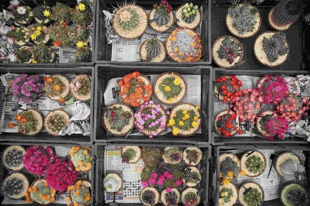 Cacti wait to be displayed during preparations for the RHS Chelsea Flower Show in London, Britain May 21, 2016. (Photo by Neil Hall/Reuters)