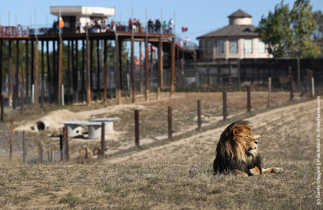A lion lies in a free roaming habitat as visitors watch from an elevated walkway at The Wild Animal Sanctuary