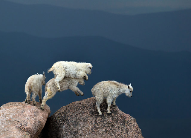 Huddled together, fur standing on end, these mountain goat kids were clearly not enjoying the lightning storm atop Mount Evans, a 14,000ft peak in Colorado. Verdon Tomajko captured these stunning images of goats leaping between boulders and sticking together against a backdrop of dark grey skies and a lightning flash. (Photo by Verdon Tomajko/Rex Features/Shutterstock)