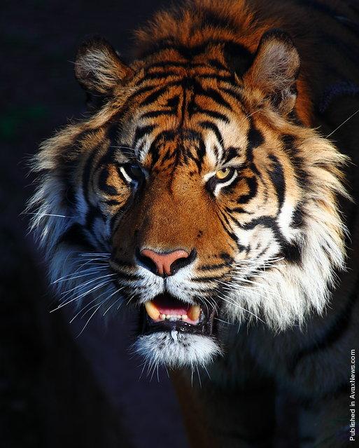 Tiger at the Phoenix Zoo. Tempe, Arizona, USA; January 25, 2009