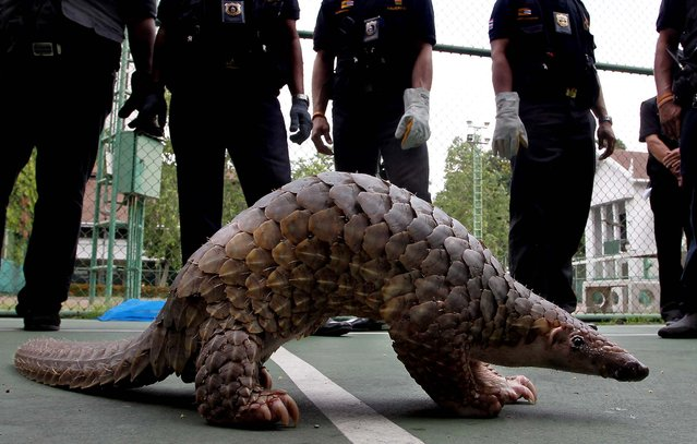 Thai customs officials look at a pangolin they rescued, during a news conference in Bangkok on May 26, 2012