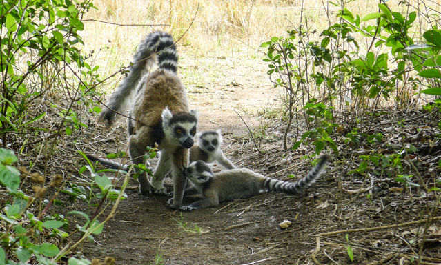 Lemurs are seen at the Isalo National Park, in the Ihorombe Region of Madagascar on November 5, 2016. .More than 150 scientists are gathering in Abidjan from July 25 until July 27, 2017 to create an African Society of primatology. In Madagascar, 85% of lemurs are threatened to disappear, according to Inza Kona, a professor and director of the research and development Swiss centre for scientific researches in Ivory Coast. (Photo by Janine Haidar/AFP Photo)