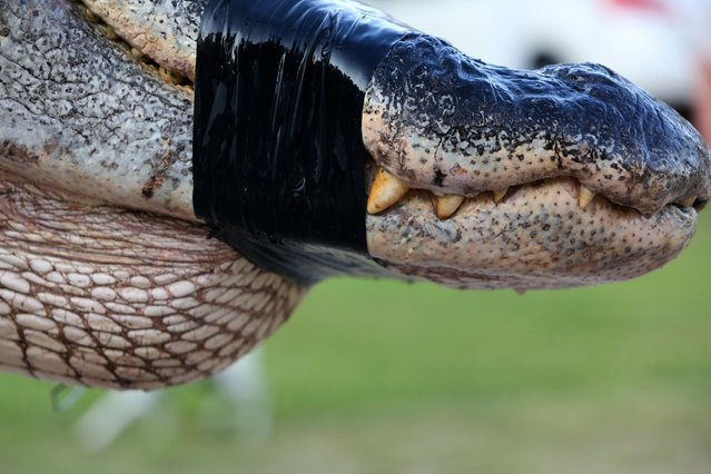 In this Saturday, August 16, 2014 photo, a large alligator weighing 1011.5 pounds measuring 15-feet long is pictured in Thomaston, Ala. The alligator was caught in the Alabama River near Camden, Ala., by Mandy Stokes and family, according to AL.COM. (Photo by Sharon Steinmann/AP Photo/Al.com)