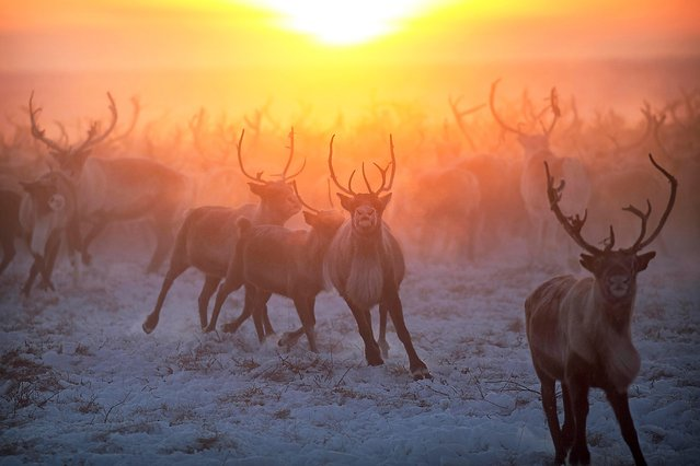 The sun sets behind some of the reindeer herd that belong to the Nenets tribe in Siberia, December 2016. (Photo by Timothy Allen/Barcroft Productions)