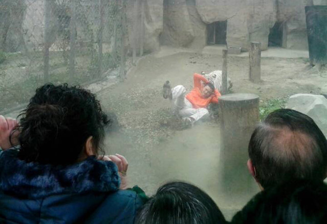 A female Bengali white tiger drags a man by his shirt after the man climbed into the enclosure, at a zoo in Chengdu, Sichuan province, China, February 16, 2014. The man was slightly injured and was taken away by police after zoo staff tranquilized two female Bengali white tigers, local media reported. (Photo by Reuters/China Daily)