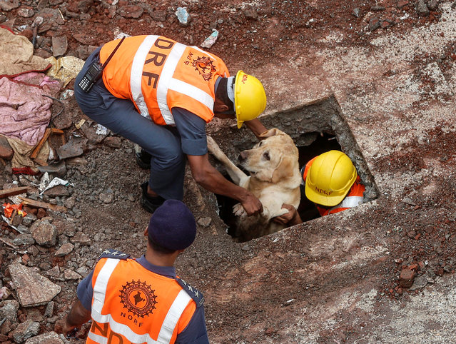 Rescuers pull out a sniffer dog at the site of a collapsed residential building on the outskirts of Mumbai, India, July 31, 2016. (Photo by Shailesh Andrade/Reuters)
