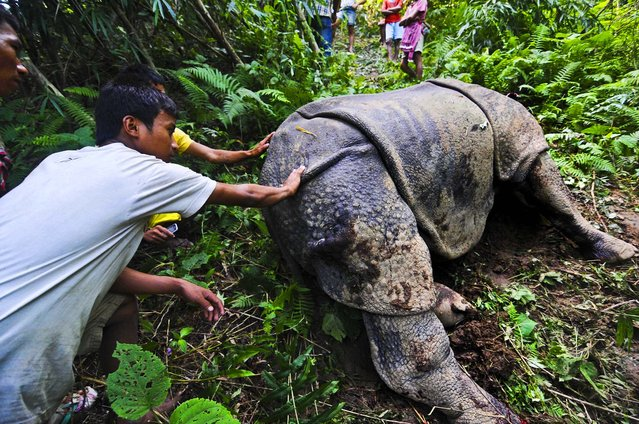 Villagers look at a wounded one-horned rhinoceros that was shot and dehorned by poachers near Kaziranga National Park in India, on September 16, 2012. Veterinarians were struggling to keep the animal alive. (Photo by Associated Press)