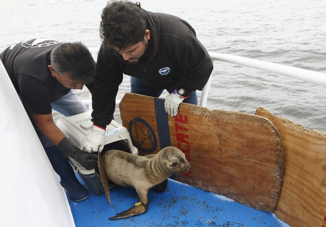 Carlos Yaipen (R), Director of Animal Science and Well-being Organization (ORCA), and a volunteer release a sea lion, named Fabiana, from a cage on the deck of a boat in front of Palomino island, in Callao, Peru September 12, 2015. (Photo by Mariana Bazo/Reuters)