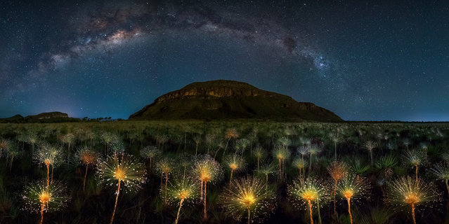 """Paepalanthus at Moonlight"" Veadeiros Tablelands, Brazil. (Photo by Marcio Cabral/Epson International Pano Awards 2017)"