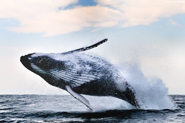 """""""Breaching humpback whale, Wild Coast, South Africa. Sometimes when I see image above – I can't stop thinking that humpback whales are great dancers, with signature moves constituting their own GangnamHumpback style! ^_^. It's always incredible to see these 35 ton animals throwing themselves in the air with no seeming effort. I just don't want this to happen when I'm in the water next to them ! ^_^"""". (Alexander Safonov)"""