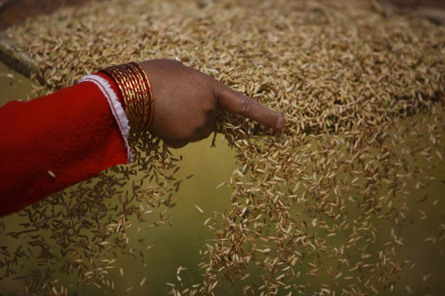 A farmer harvests rice on a field in Lalitpur, Nepal, on  October 30, 2014. (Photo by Navesh Chitrakar/Reuters)