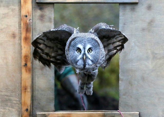 Mykh, a one-and-a-half-year-old great gray owl, flies through a window during a training session which is a part of Royev Ruchey Zoo's programme of taming wild animals for research, education and interaction with visitors, in a suburb of the Siberian city of Krasnoyarsk, Russia October 17, 2017. (Photo by Ilya Naymushin/Reuters)