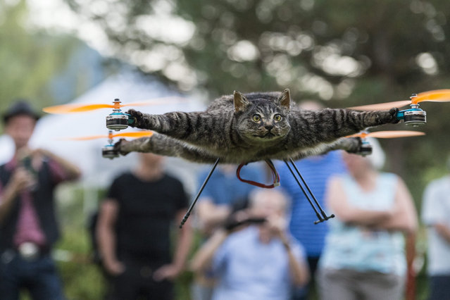 """A picture made available on 10 September 2016 shows the taxidermy cat """"Orvillecopter"""" mounted on a drone flies in the courtyard of the Natural History Museum in Bern, Switzerland, 09 September 2016. The dutch artists Bart Jansen and Arjen Beltman show their taxidermy specimen mounted on drones in Switzerland. (Photo by Alessandro Della Valle/EPA)"""