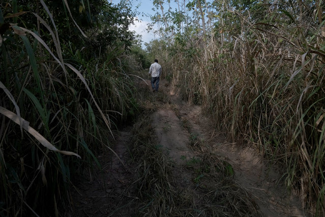 A villager walks down a road that became too difficult to travel by 4wd in the Araribóia Indigenous Reserve, Maranhão, Brazil on August 7, 2015. (Photo by Bonnie Jo Mount/The Washington Post)